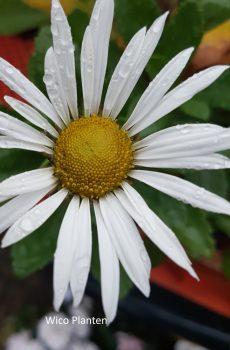 Nipponanthemum